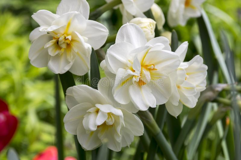 White double narcissus poeticus in bloom. Garden cultivar, ornamental flowers stock photos