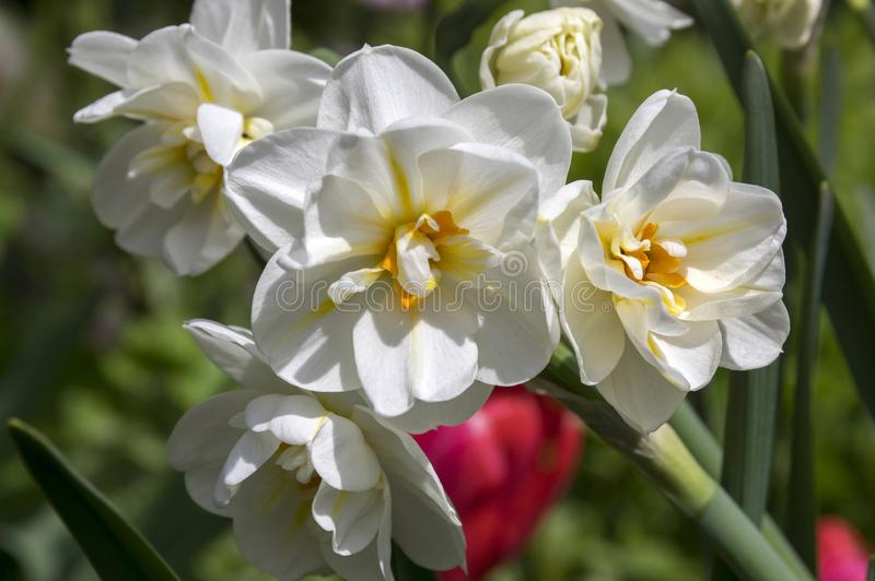 White double narcissus poeticus in bloom. Ornamental spring time flowering plant stock photos