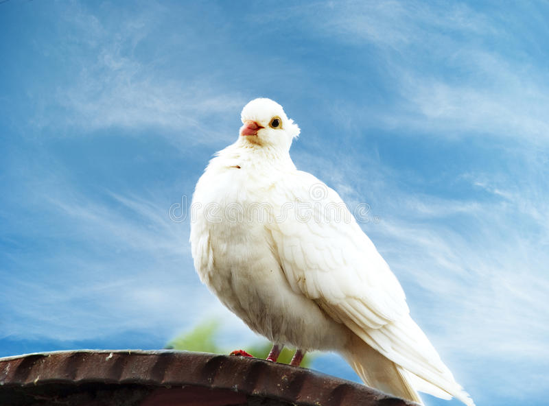 Download White dove stock image. Image of peace, graceful, nature - 25432561