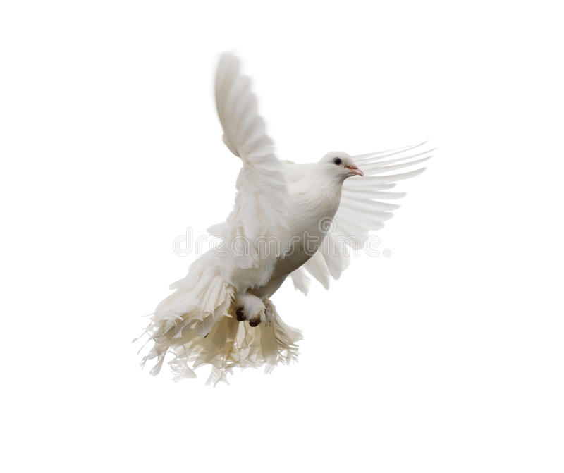 Download White dove stock image. Image of grace, nobody, religious - 25945645