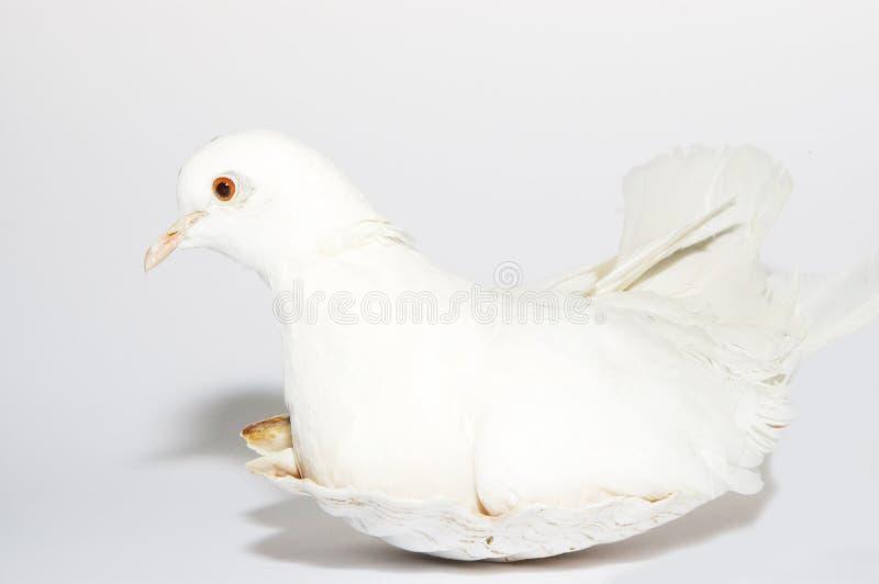 White dove stock photo