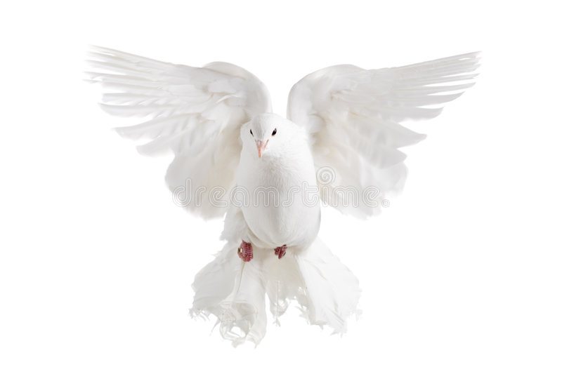 White dove. A flying white dove on white background