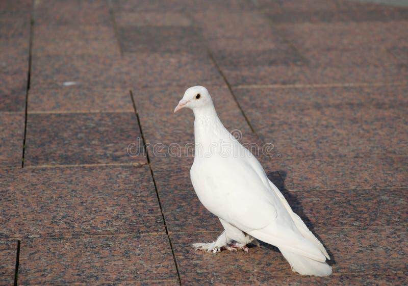 White dove royalty free stock image