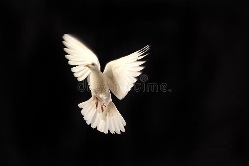 White dove royalty free stock photos
