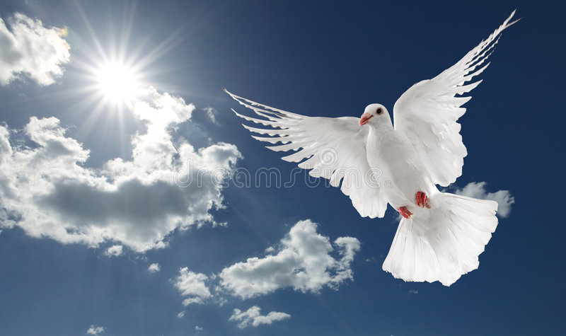 White dove. Flying on clear blue sky