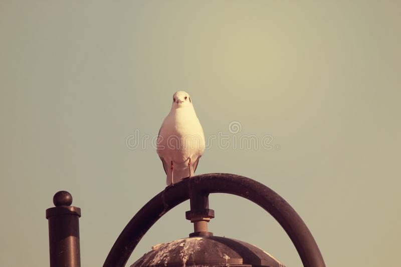 White Dove bird posing the camera. Peaceful sky background. A release dove also known as white pigeon, is a breed of rock dove used for ceremonial release royalty free stock image