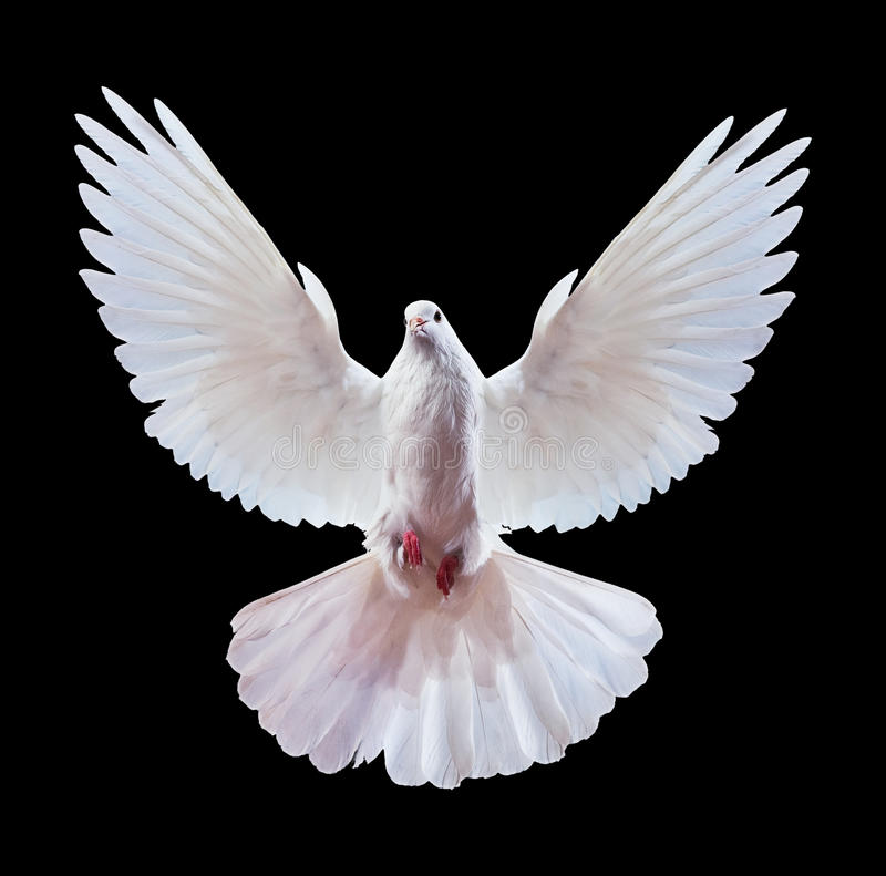 White dove on black. White dove with spread wings on a black background. Often used as a peace symbol