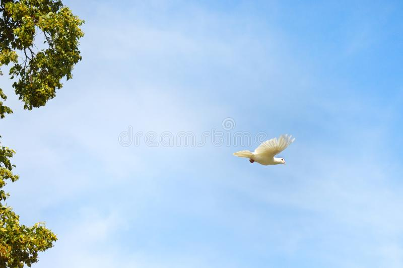 White dove in the blue heaven royalty free stock photography