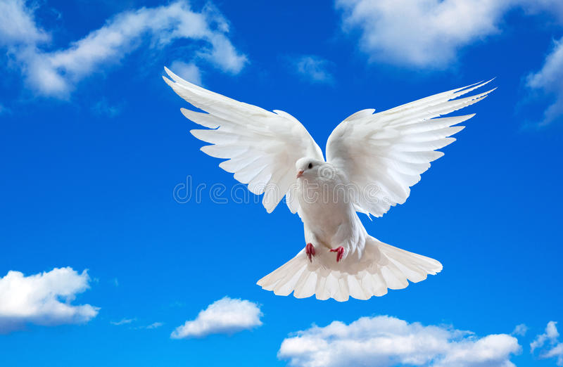 White dove in blue sky. White dove flying in blue sky with cloudscape background