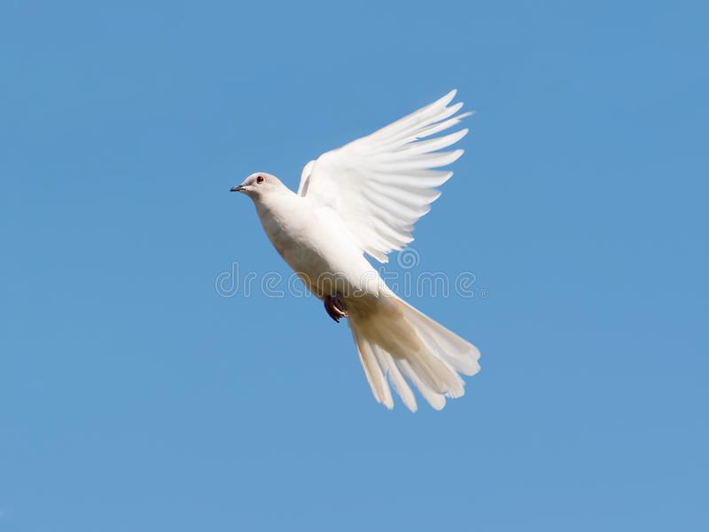 White dove on blue sky. Eurasian collared dove, rare albino specimen in flight stock photo