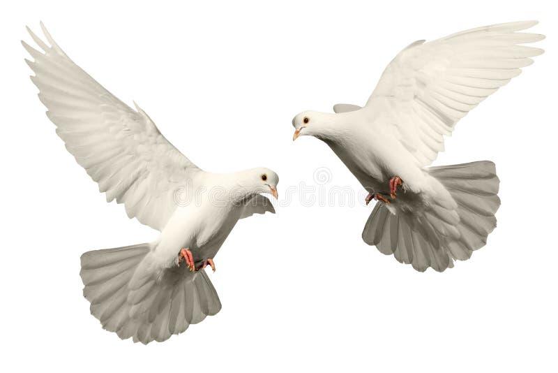 White dove flies stock photo
