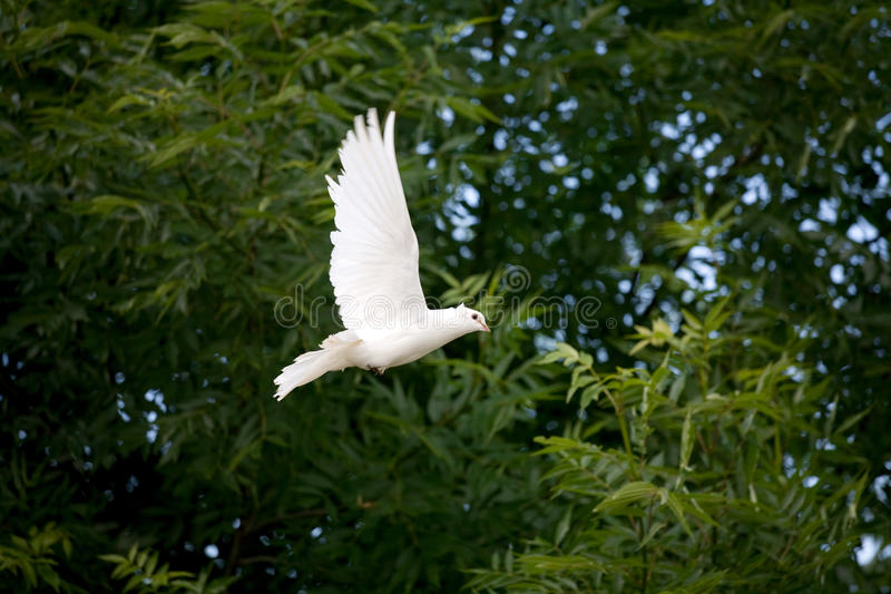 White Dove in flight royalty free stock photo
