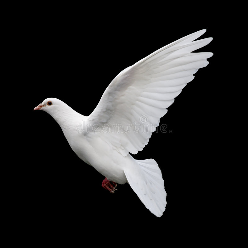 White Dove in Flight 11. A free flying white dove isolated on a black background stock images
