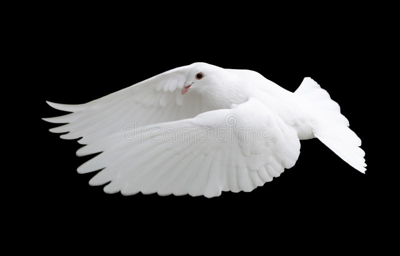 White Dove in Flight 12. A free flying white dove isolated on a black background stock photos