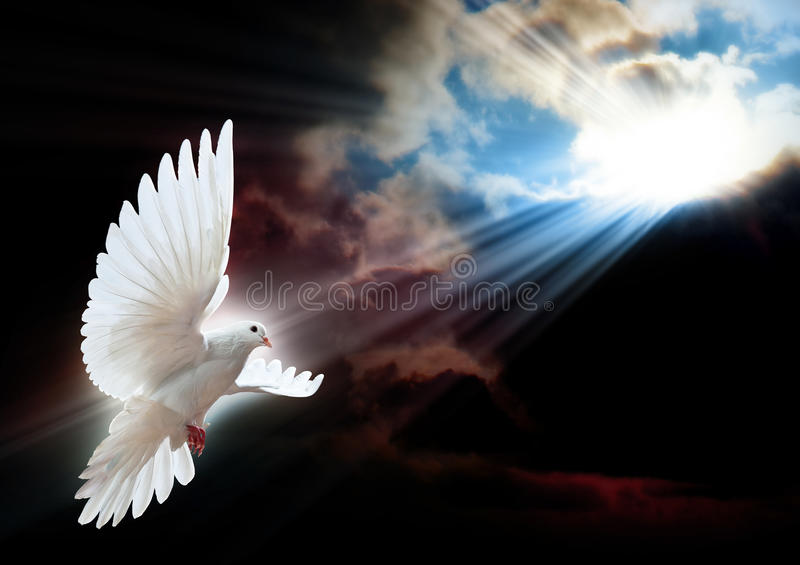 Download White dove in flight stock image. Image of nature, outside - 13084461