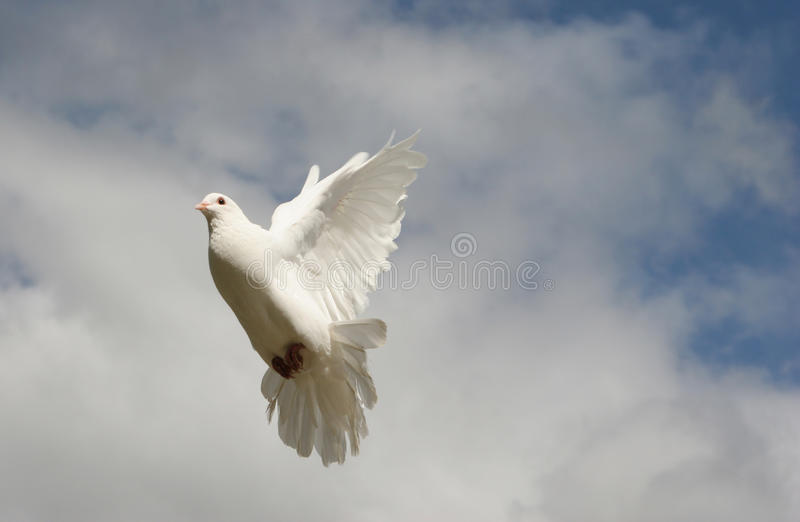 White dove in flight royalty free stock images