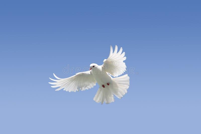 White dove in flight royalty free stock photos