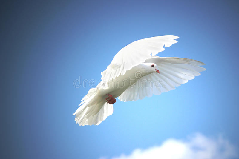 Download White dove in flight stock photo. Image of white, feathers - 16757888