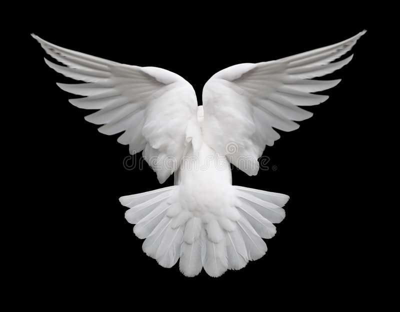 White Dove in Flight 2 royalty free stock photo
