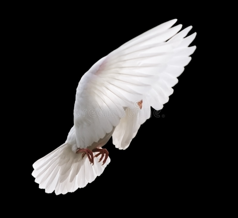White Dove in Flight 4. A free flying white dove in mid stroke with its wings up around its head. Isolated on a black background royalty free stock images