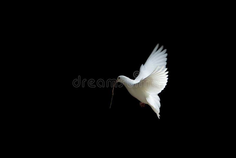 White dove in flight. Beautiful white dove in flight, holding a small branch to build a nest in spring