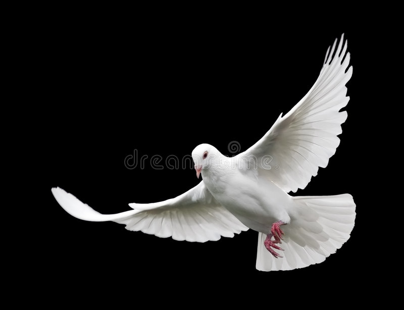 White Dove in Flight 6. A free flying white dove isolated on a black background