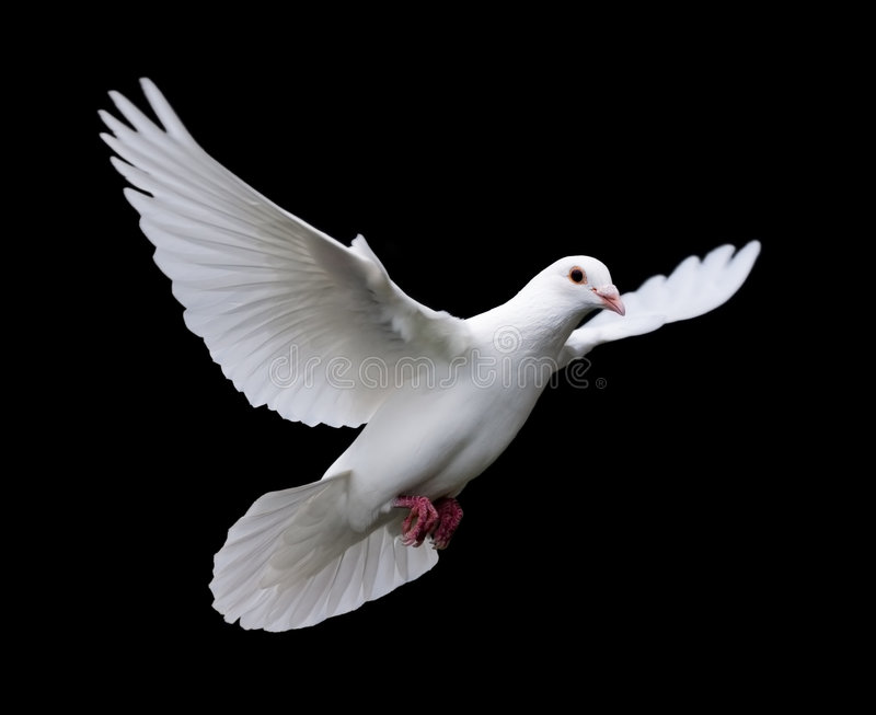 White Dove in Flight 7. A free flying white dove isolated on a black background stock image