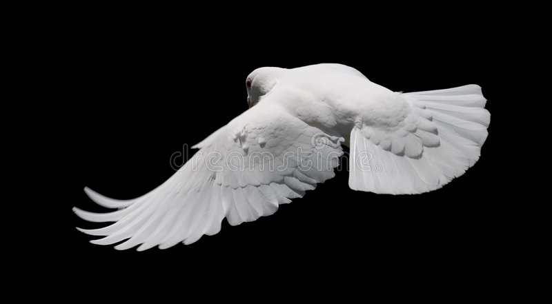 White Dove in Flight 8 royalty free stock image