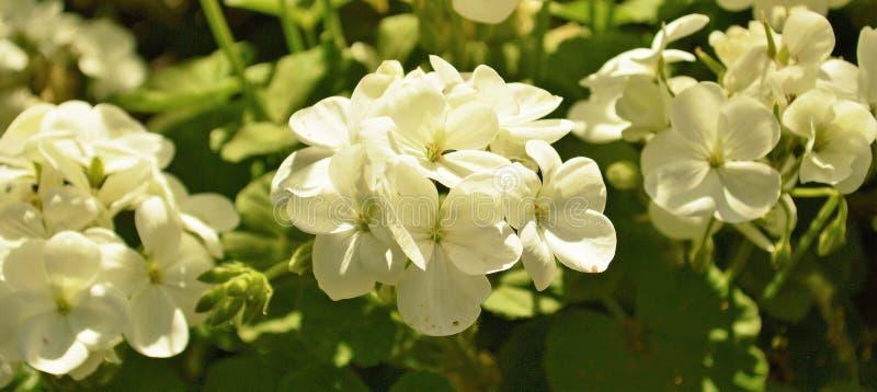 White dove flowers stock image