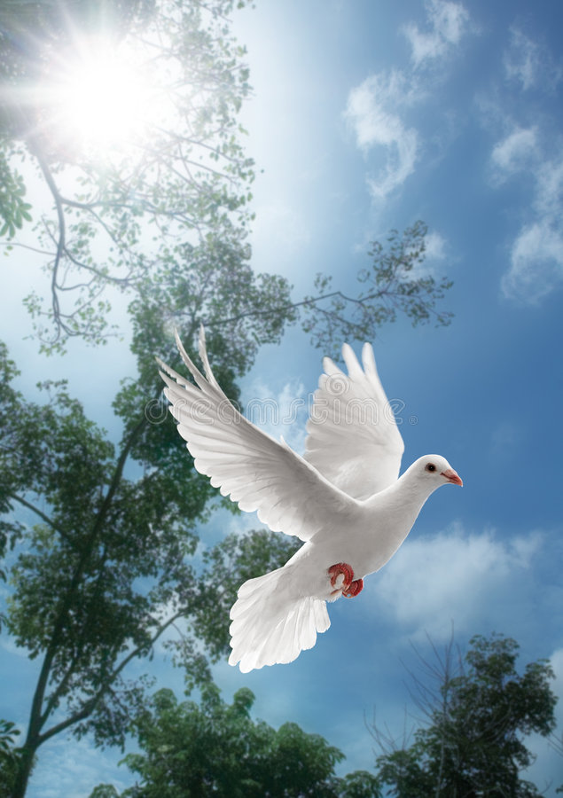 White dove flying. On sky with trees behind