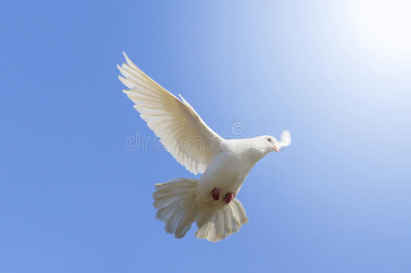 White Dove Flying On A Background Of Blue Sky Stock Photo Image Of