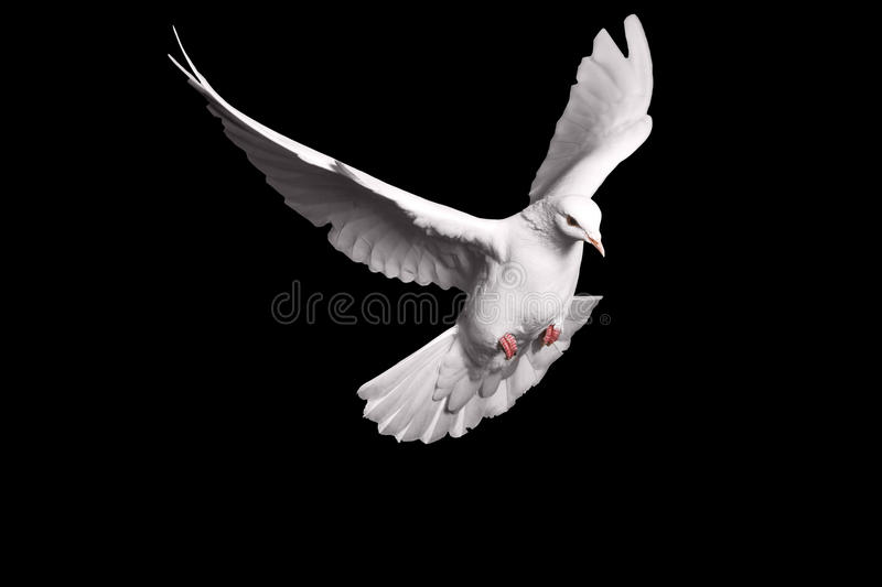 White dove flying on black background for freedom concept in clipping path, international day of peace 2017. Pigeon, mail, good news, peace