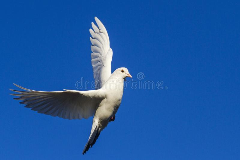 White dove flying in the blue sky having opened wings stock photography