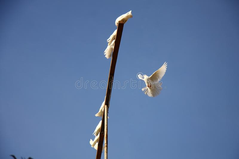 White dove flying in the blue sky. returning to home to the group of doves royalty free stock photos