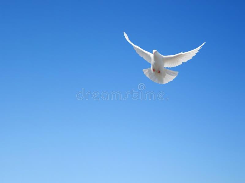 Download White dove stock image. Image of religion, bird, white - 34381053
