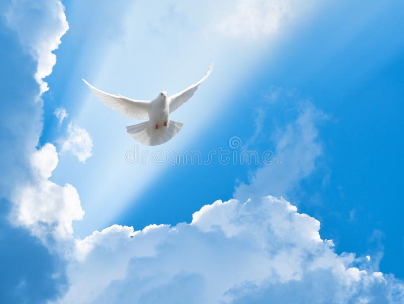 White dove flying in the sun rays. Among the clouds royalty free stock images