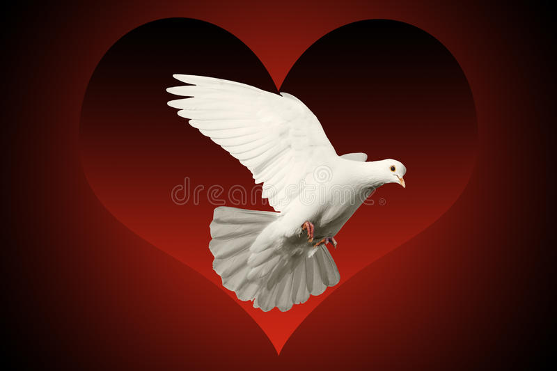White Dove Flying Symbol Of Love On Red And Black Heart Background