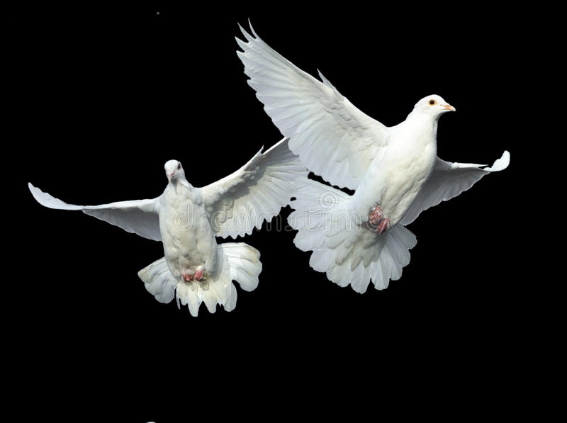 Download White dove in free flight stock image. Image of nature - 17544947