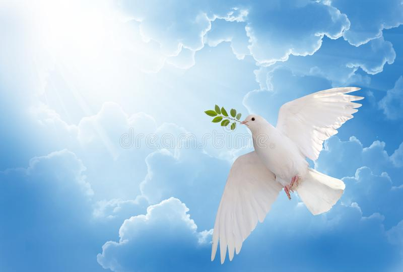 White dove holding green leaf branch flying in the sky stock photo