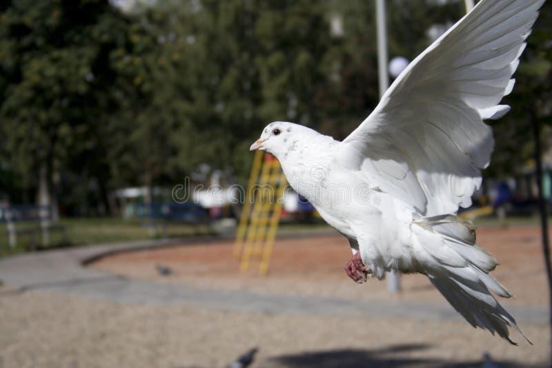 White dove landing stock photography