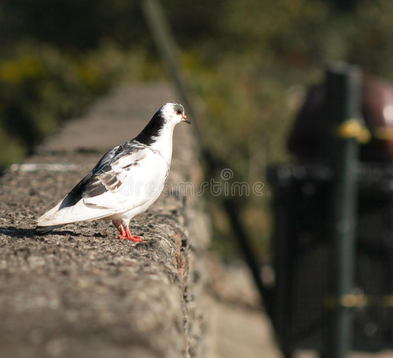 A white dove is looking at a plain. royalty free stock photography