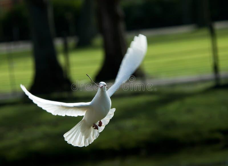 white dove lotu obraz royalty free