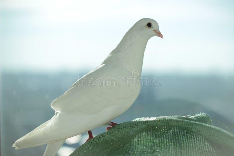 White dove of peace stock photo