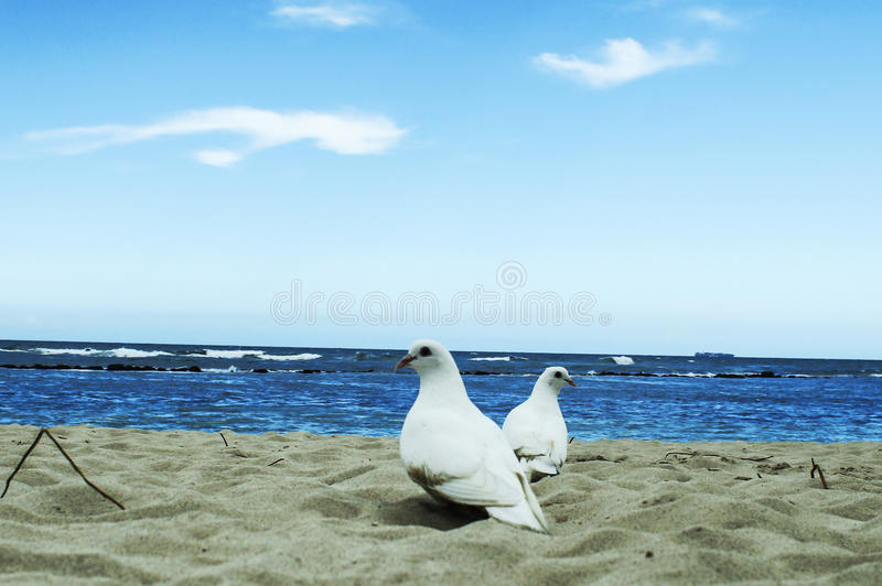 White dove in the sea a symbol of peace royalty free stock photos