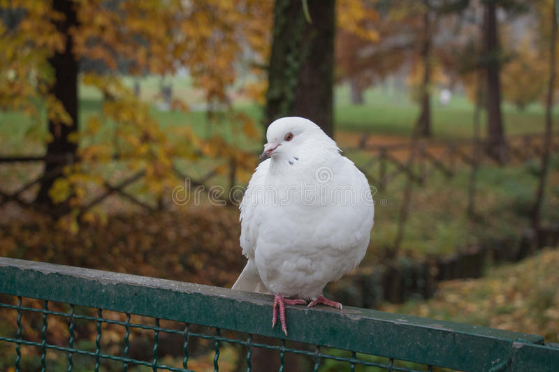 White dove sitting on a fence. stock photo