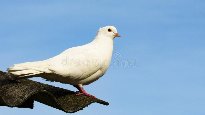 White dove sitting on the roof on the background of the sky stock image