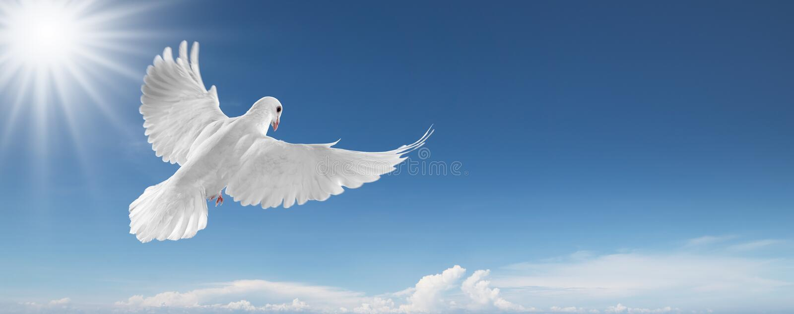 White dove in the sky. White dove flying on clear blue sky