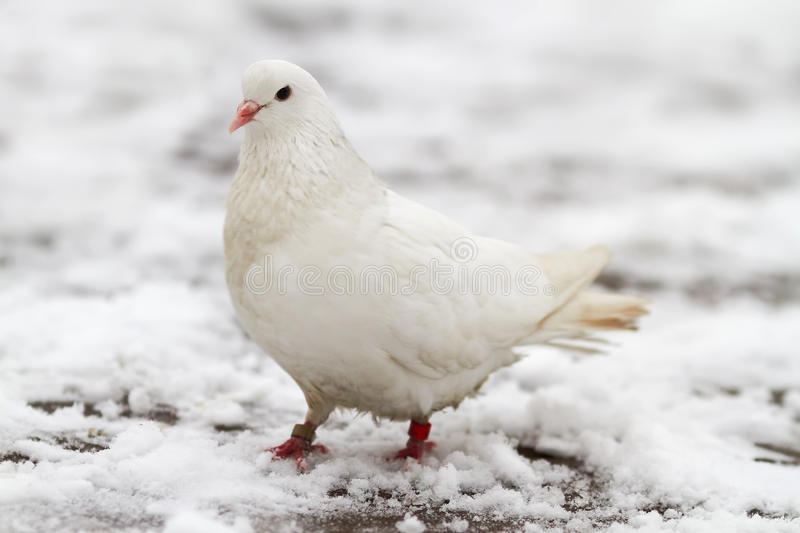 Download White Dove On A Snow Stock Image - Image: 17091571