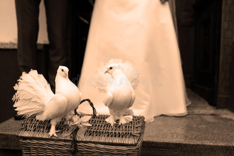 White Doves and a wedding couple. White Dove Releases for weddings, two doves sitting on a basket royalty free stock image