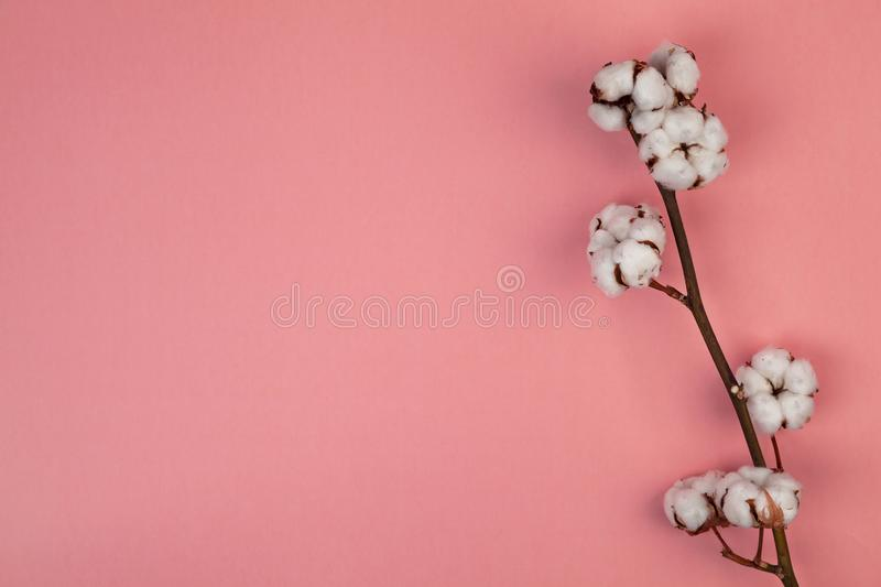 White dried flowers of cotton on pink background top view copy space. stock photography